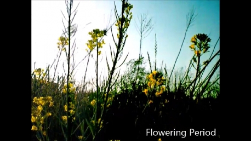 Flowering Period [MV]